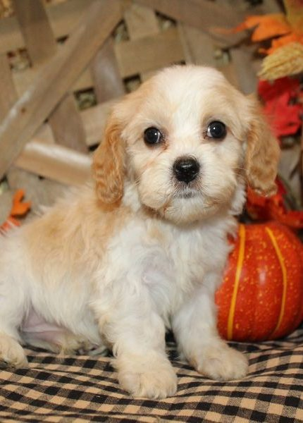 Cavachon Puppies For Sale